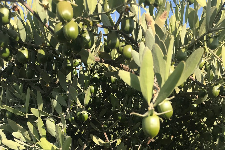 Discover the work we do with Jojoba Oil