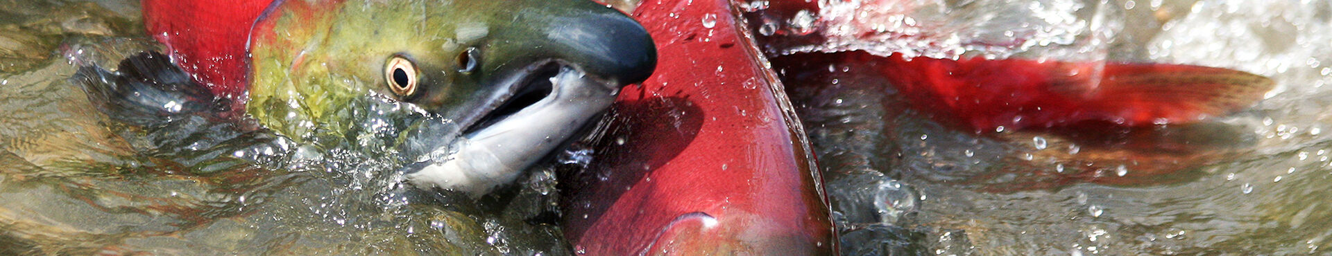 Banner - Salmon - Safe BC