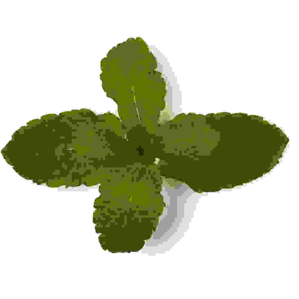 Fresh Mint (Mentha Piperita)