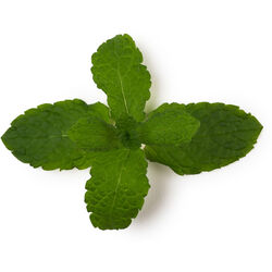 Fresh Mint (Mentha Piperita)