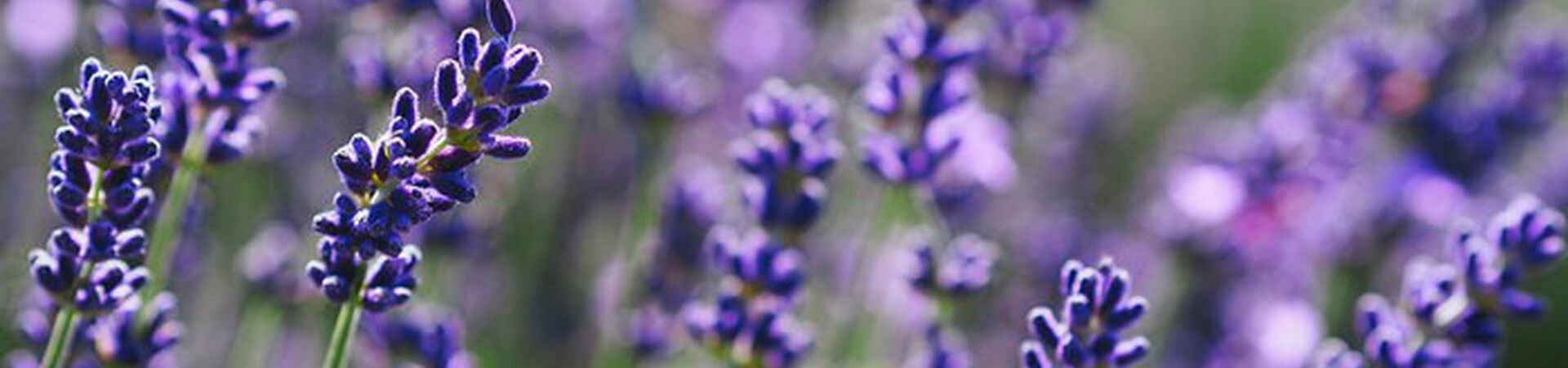 Banner - What are the Benefits of Lavender Oil?