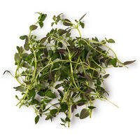 Thyme Absolute