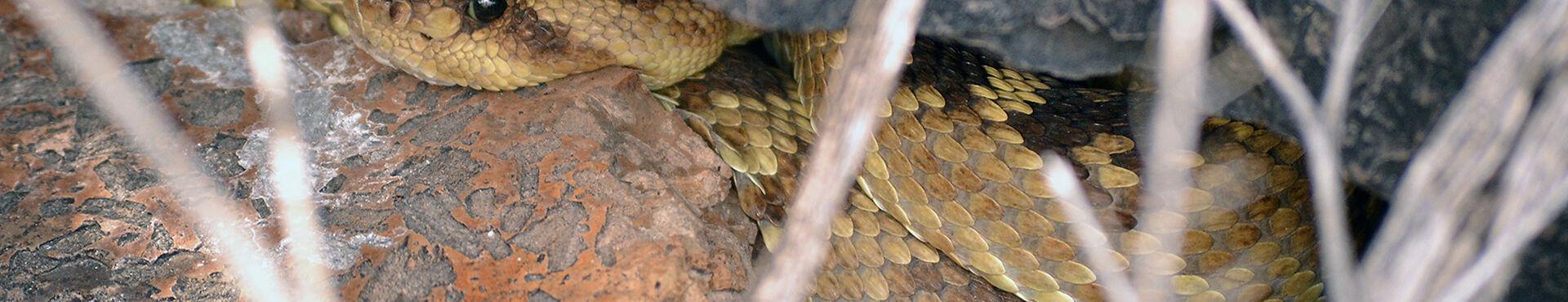 Banner - Advocates for Snake Preservation