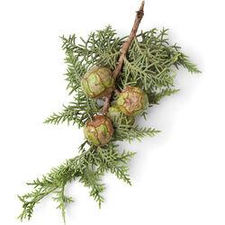 Cypress Leaf Infusion