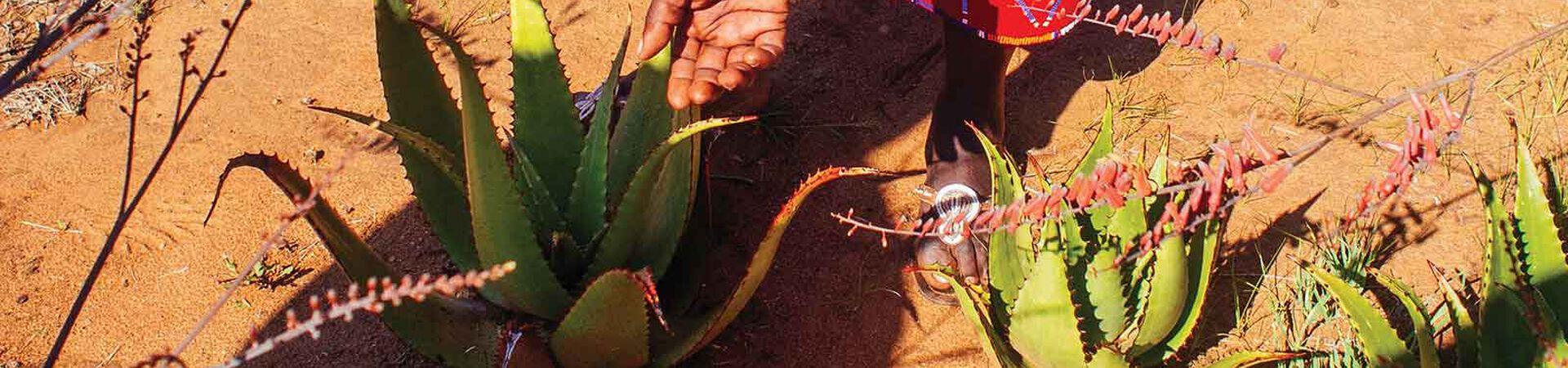 Banner - Fresh Aloe Leaves from Kenya