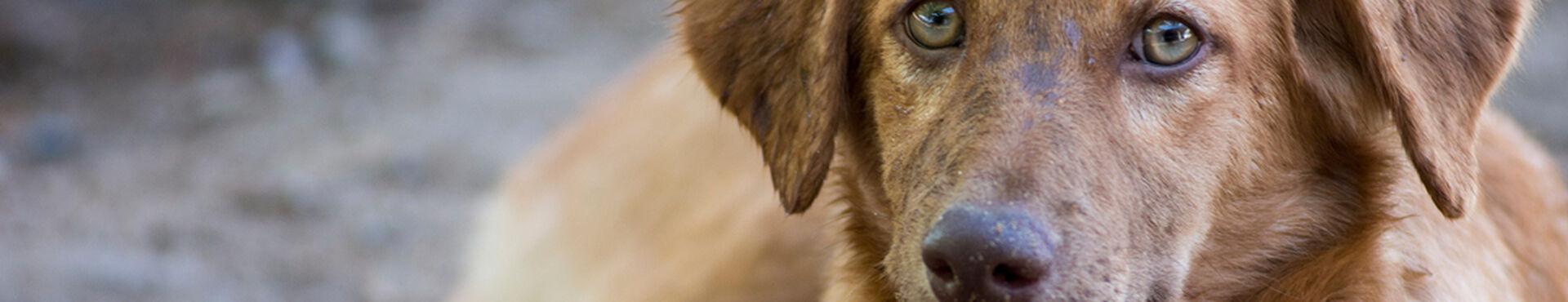 Banner - Soi Dog Canada