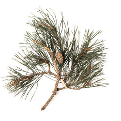 Pine Needle Absolute