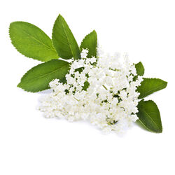 Elderflower Decoction