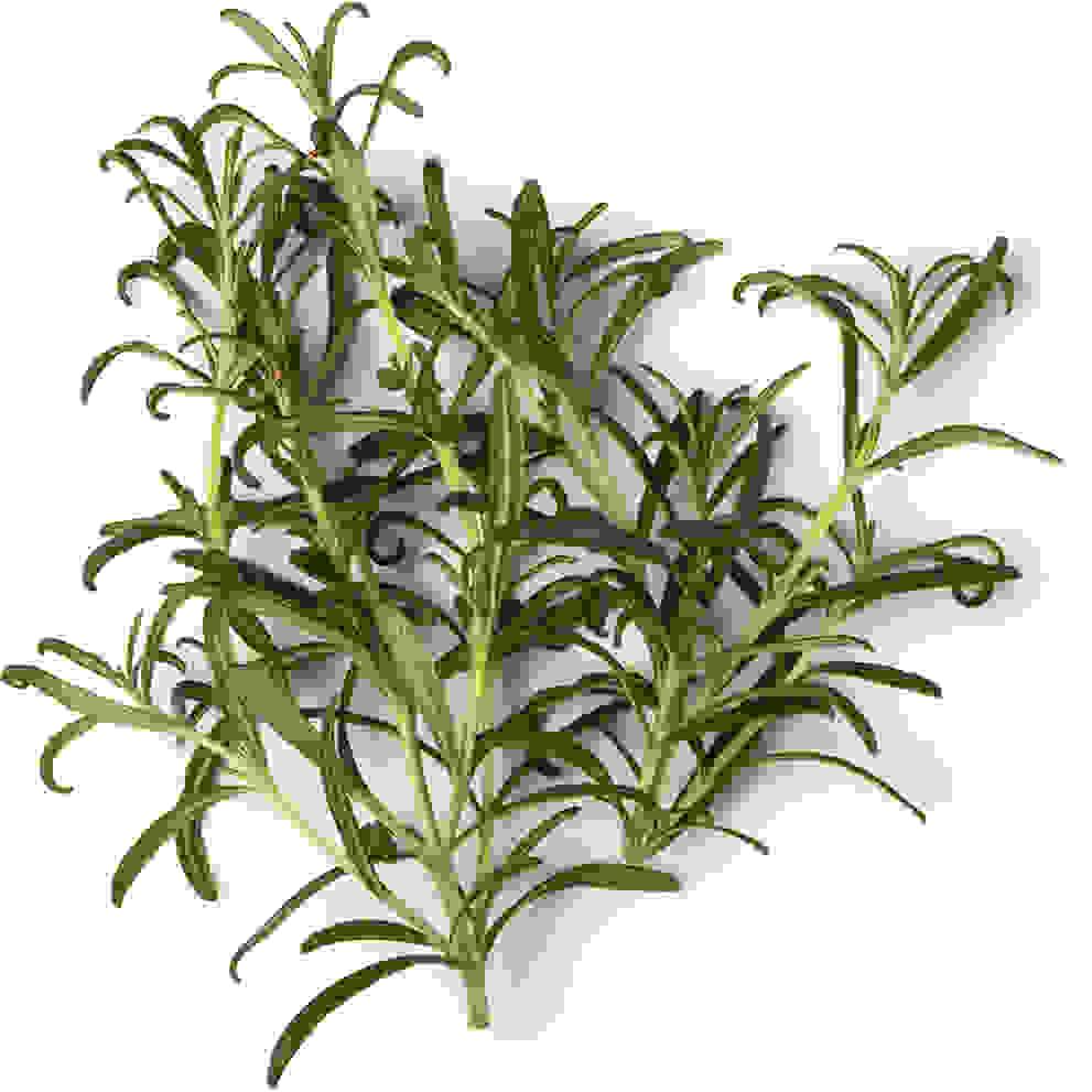 Rosemary Infusion