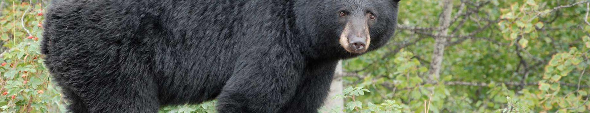 Banner - Revelstoke Bear Aware