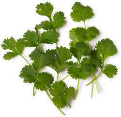 Fresh Coriander (Coriandrum sativum)