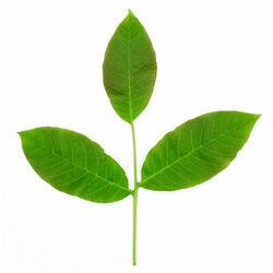 Powdered Walnut Leaf