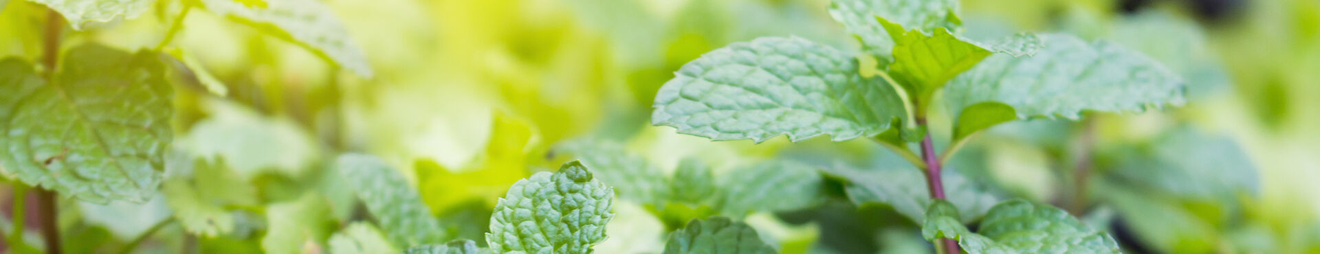 Banner - Cool Benefits of Mint