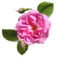 Rose Wax