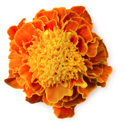 Marigold Powder