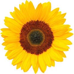 Sunflower Petal Infusion