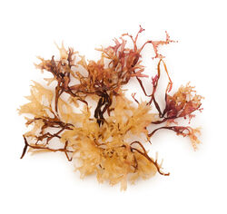 Carrageenan Infusion