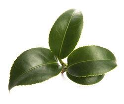 White Tea Infusion (Camellia sinensis)