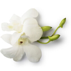 Fresh Dove Orchid Extract