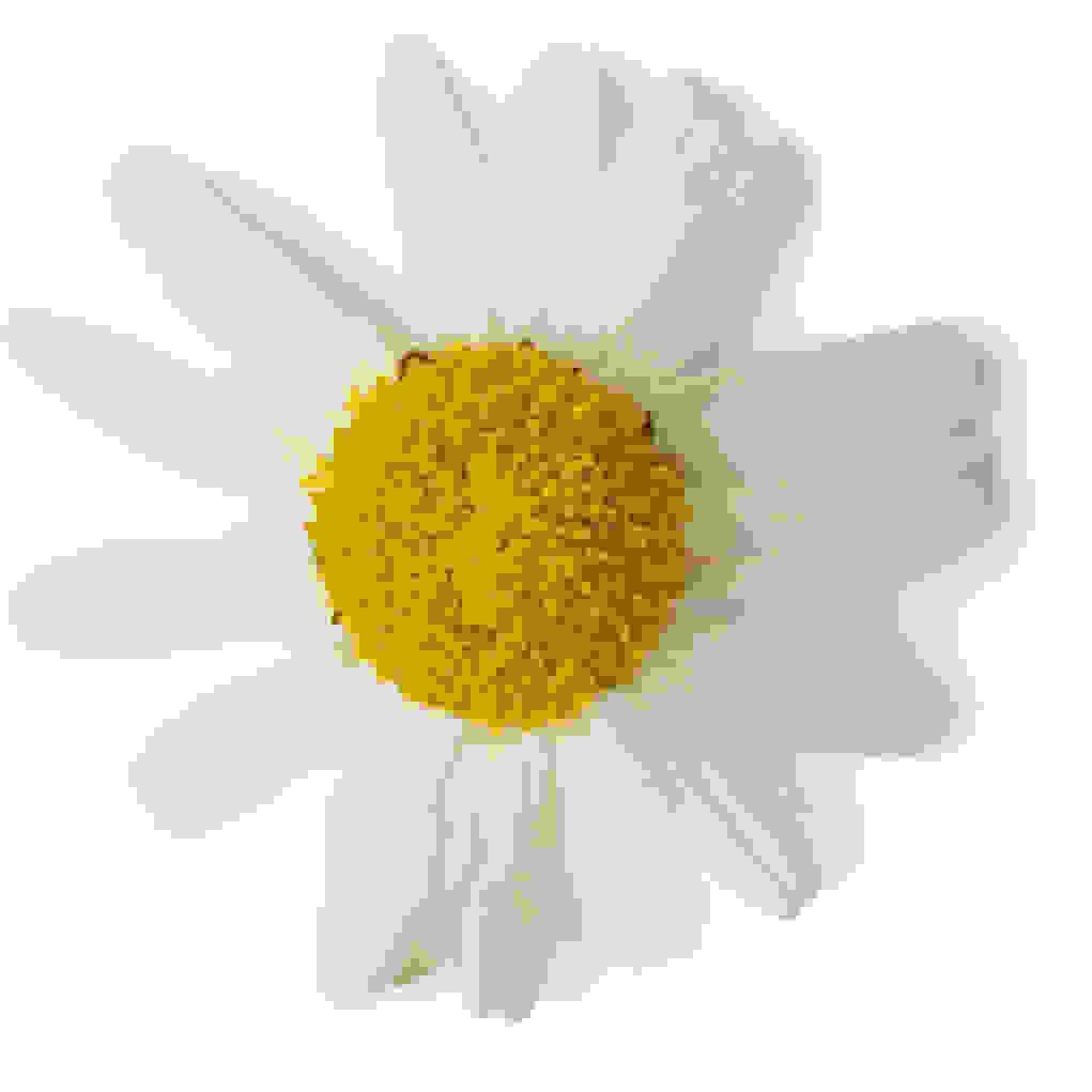 Chamomile Infusion (Anthemis Nobilis and Chamomilla Recutita)