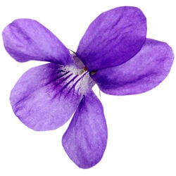 Sweet Violet Extract