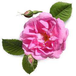 Rose Petal Infusion