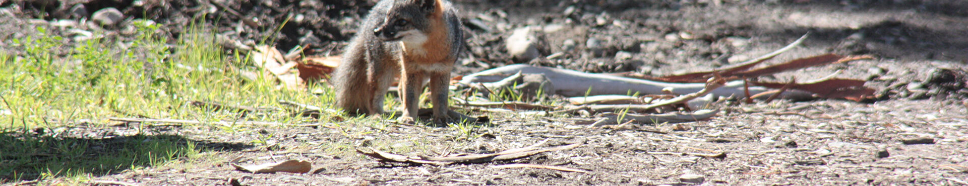 Banner - Friends of the Island Foxes