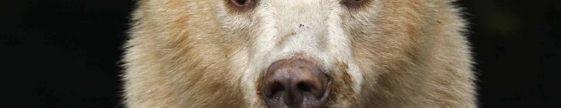 Banner - Spirit Bear Research Foundation
