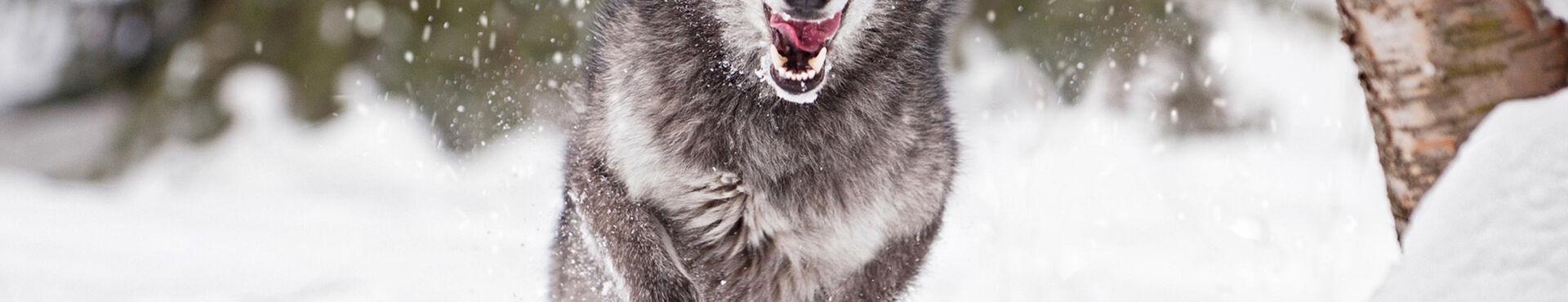 Banner - Wolf Matters