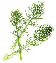 Powdered Horsetail Herb