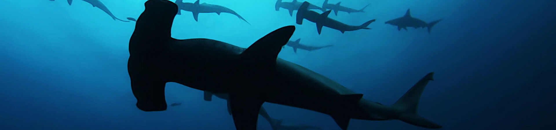 Banner - Sharks Are Being Exploited