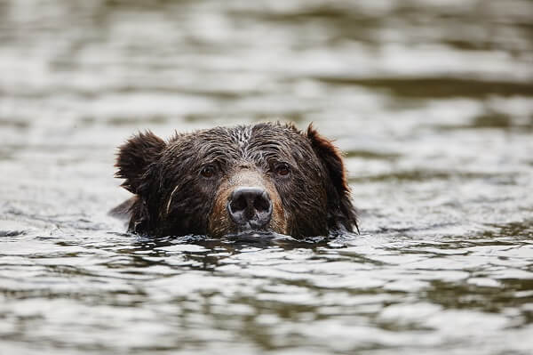 A grizzly bear swims through the Great Bear Rainforest