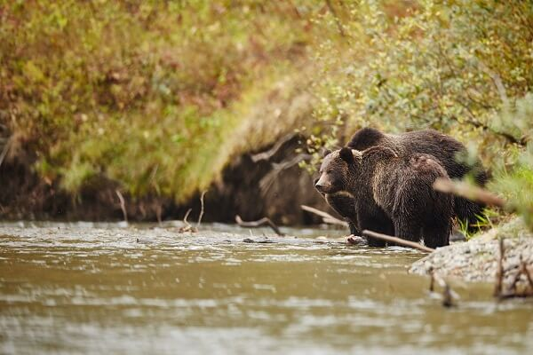 Two grizzlies in the Great Bear Rainforest