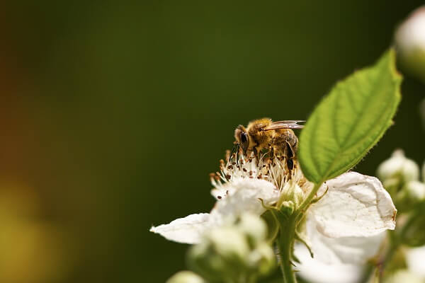 Bees are natural pollinators