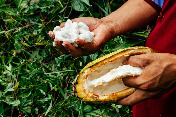 A farmer handles raw cocoa pod