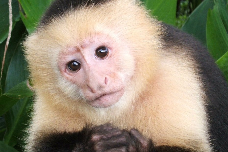 A close up image of the face of an Panamanian White-faced Capuchin monkey.
