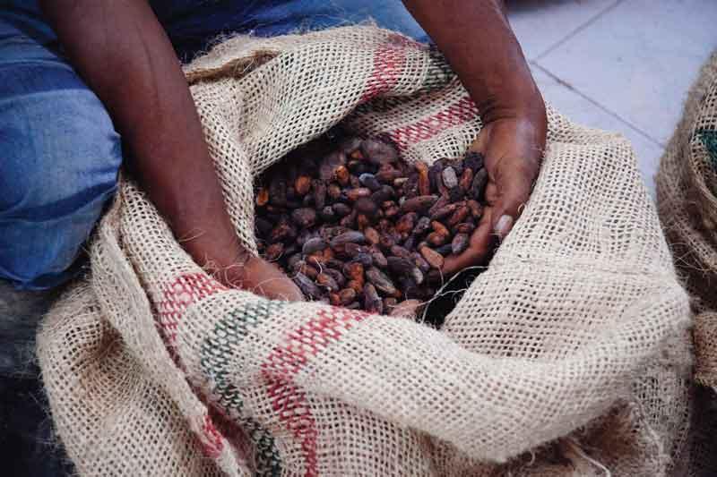 A farmer handles cocoa beans in a sack